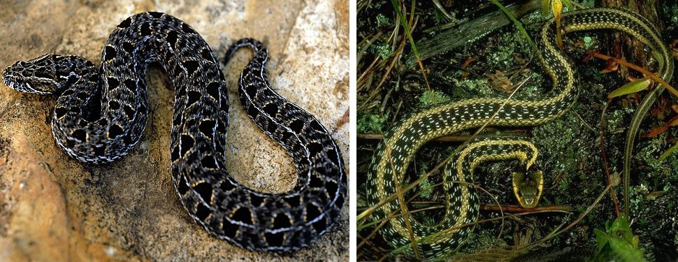how to tell what kind of snake by shed skin