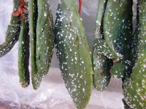 cochineal bugs