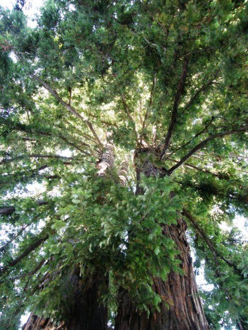 redwoods sant cruz california