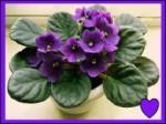 violets 4 mum