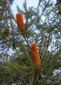 Orange banksia give a warm glow to the bush in mid-winter.
