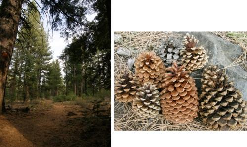 truckee forest